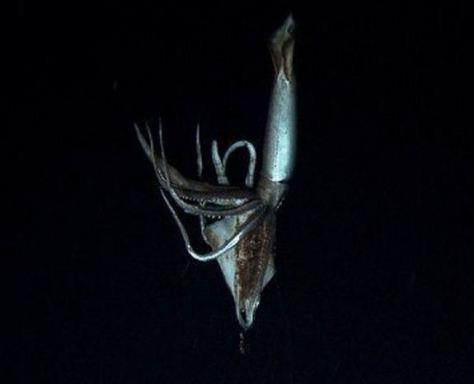 giant-squid3